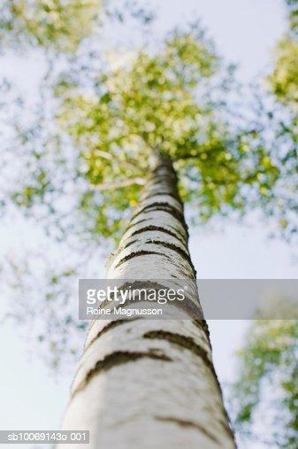 Birch tree, low angle view : Stock Photo