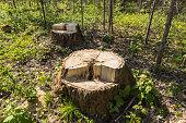 birch tree stump in the forest, summer