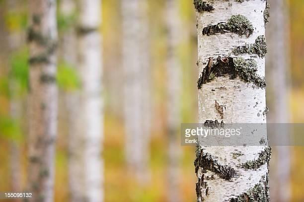 Birch tree trunk