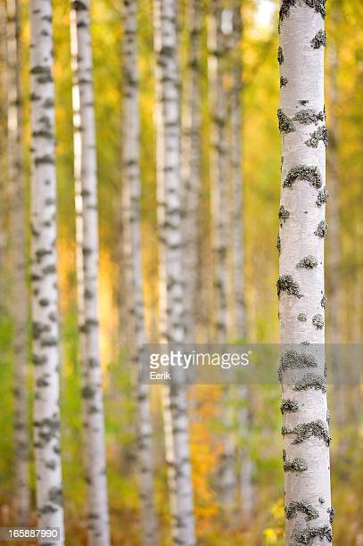 Birch tree trunks