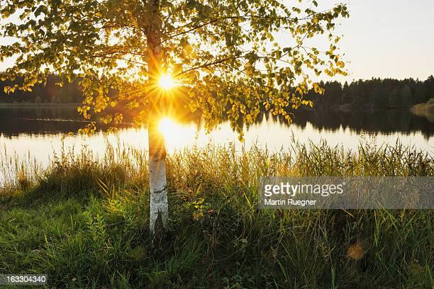 Birch tree (Betula spec.) with sun at lake.