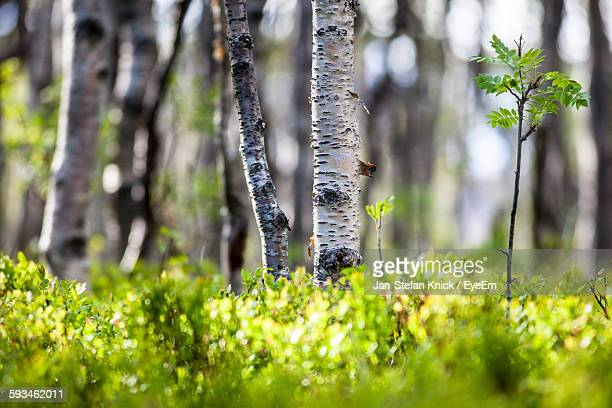 Birch Trees And Plants Growing In Forest