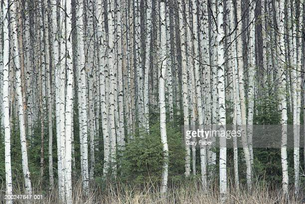 Birch trees in Countryside, Finland