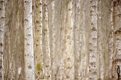 Birch trees in winter, close-up