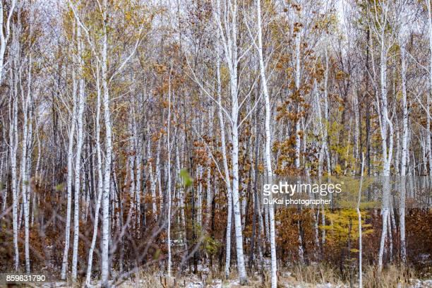 Birch trees in Xiao Hinggan Mountains ,Heilongjiang province,china