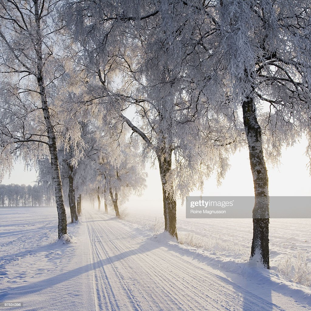 Birch trees lining snow-covered road : Stock Photo