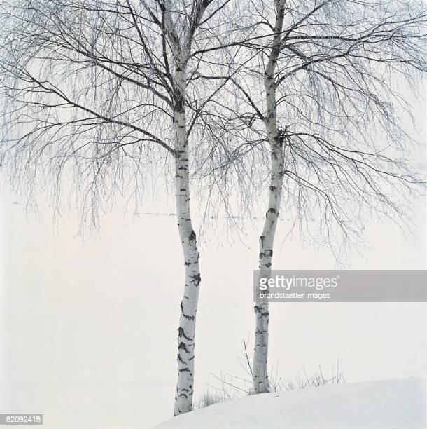 Birch trees Lower Austria/Waldviertel Around 2004 [Birkenbume im Waldviertel Photographie Um 2004]
