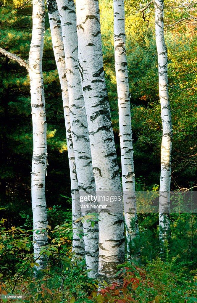 Birch trees. : Stock Photo