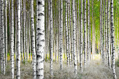 Birch trees in bright sunshine in late summer