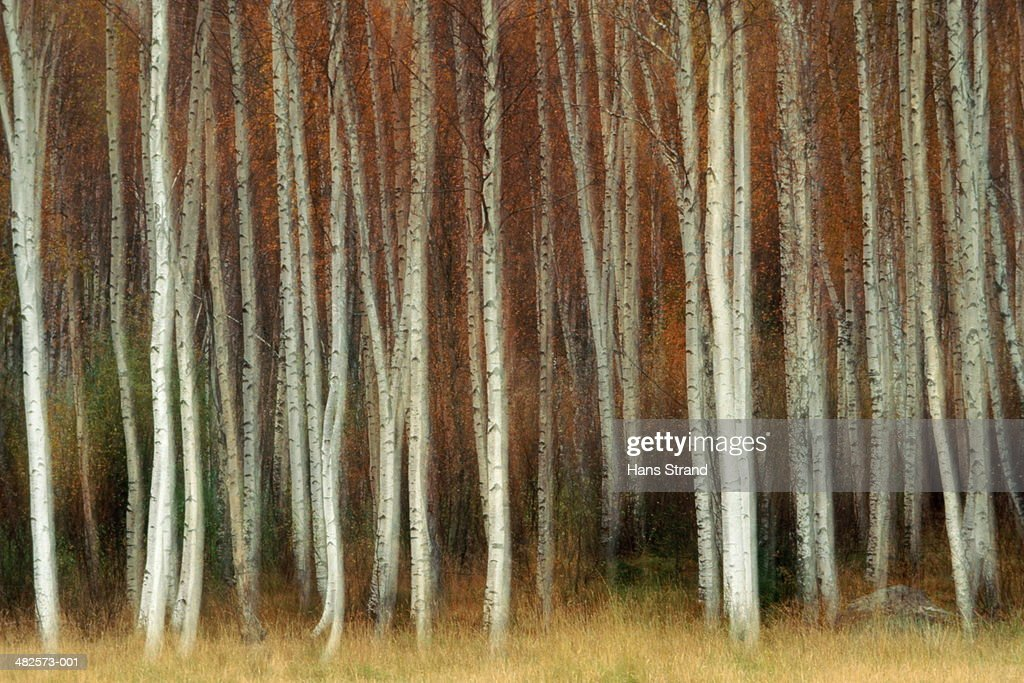 Birch trees (Betulaceae), (blurred motion) : Stock Photo
