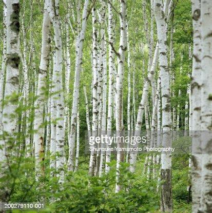 Birch trees (Betula sp.), summer : Stock Photo