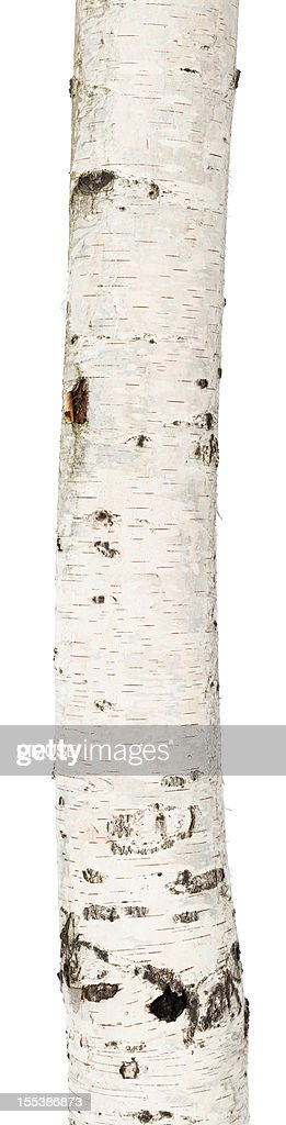 A birch trunk on a white background