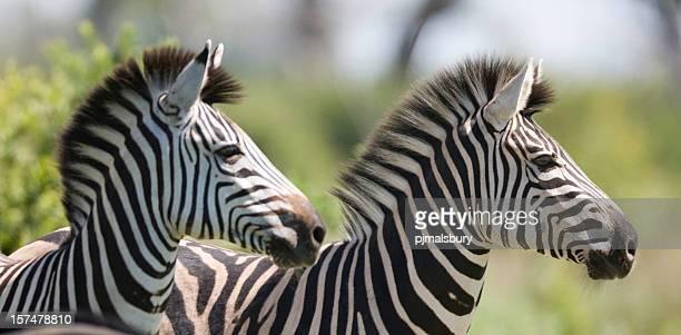 Birchell's Zebra