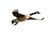 Kinzigsee, Hessians, Germany - January, 16, 2016: flying Canada goose before white background exempt
