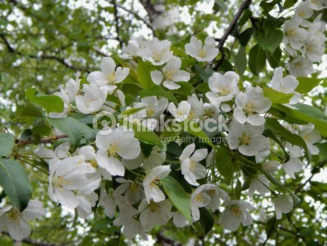 Bird cherry trees in spring white fragrant flowers stock photo bird cherry trees in spring white fragrant flowers stock photo mightylinksfo