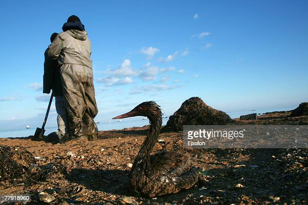 A bird covered in oil lies dying in front of Russian Emergency Ministry soldiers removing oil pollution from the Black Sea shorenear the southern...