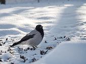 Bird crow winter in the Park. Portrait