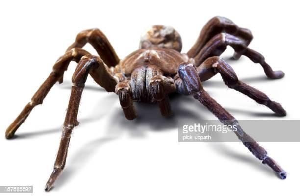 Bird Eating Spider