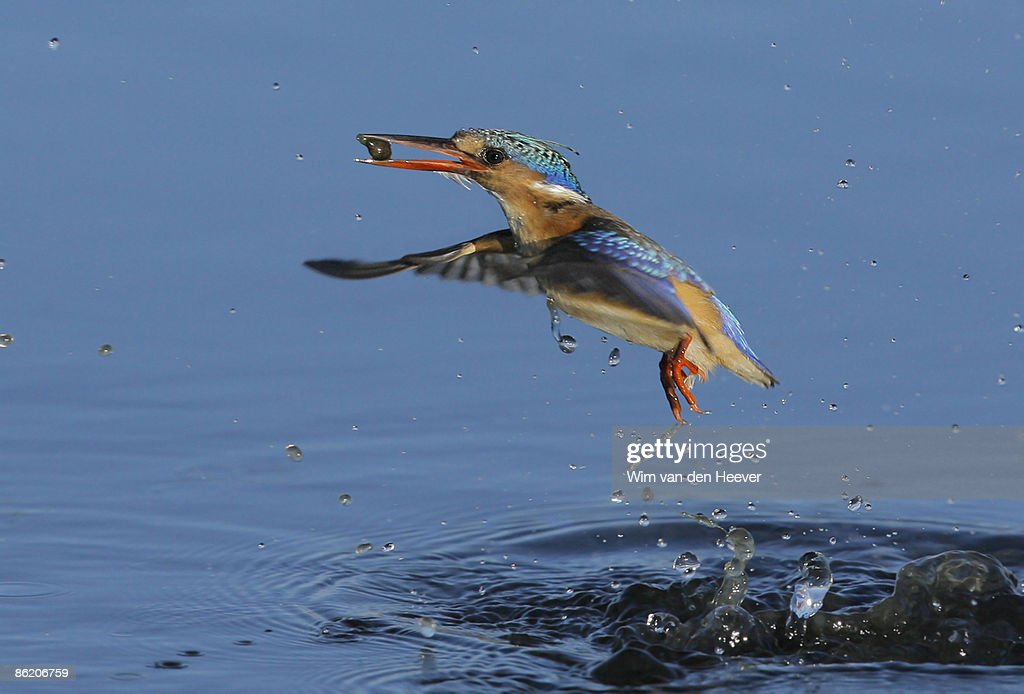 Bird emerging from water