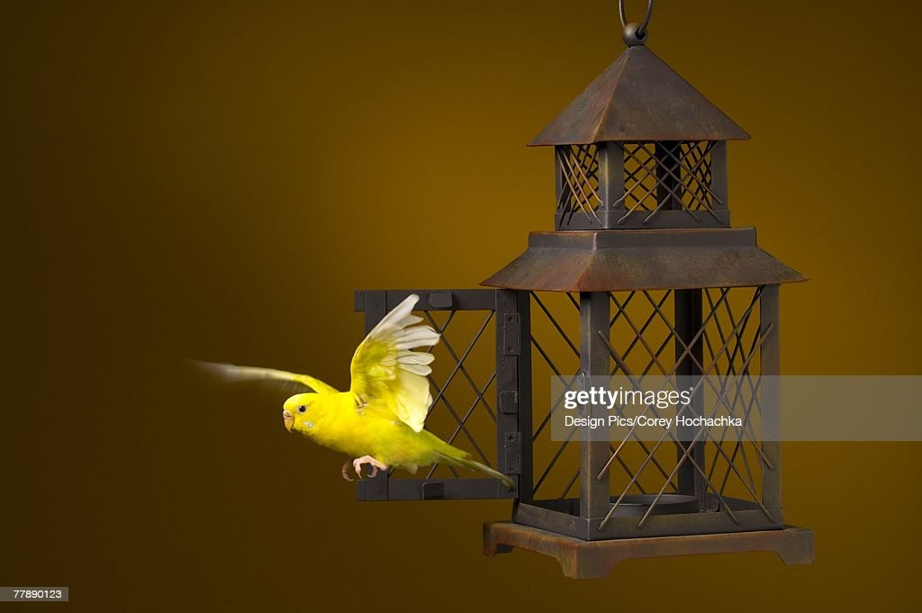 Bird escaping from cage