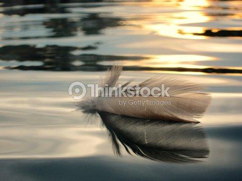 bird feather on water : Stock Photo