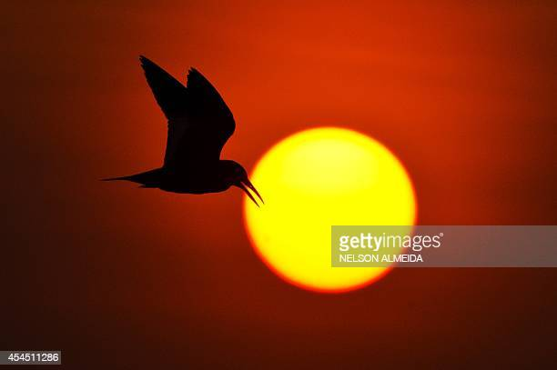 A bird flies at sunset over the Paraguay river in Caceres Brazil the gateway to the Pantanal on August 26 2014 Often referred to as the worlds...