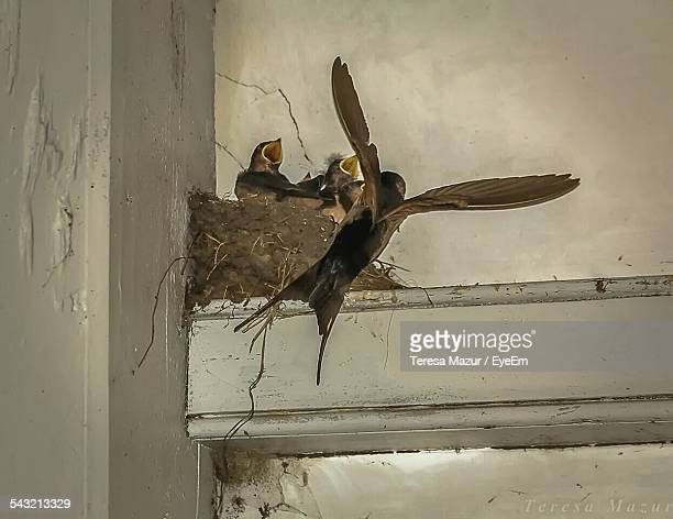Bird Flying By Baby Birds In Nest At Home