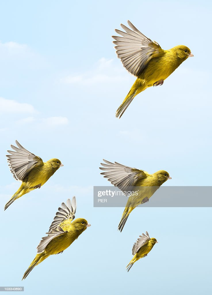 Bird flying higher and faster than other birds : Stock Photo