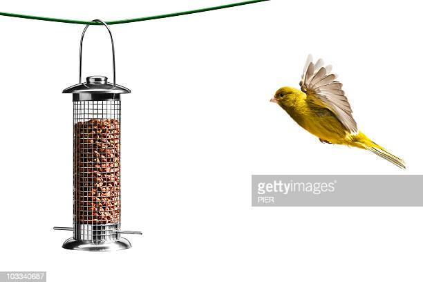 Bird flying towards bird feeder, white background