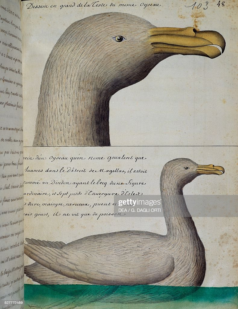 Bird from the Strait of Magellan watercolour from the log book by Jacques Gouin de Beauchesne captain of the Compagnie royale de la Mer du Sud from...