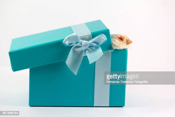 Bird hovering head in a gift box