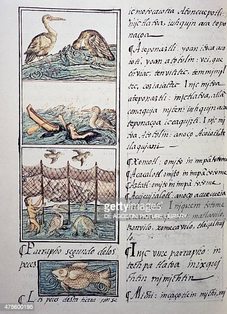 Bird hunting of the lake page from the Florentine Codex bilingual version in Spanish and Nahuatl General History of the Things of New Spain by the...