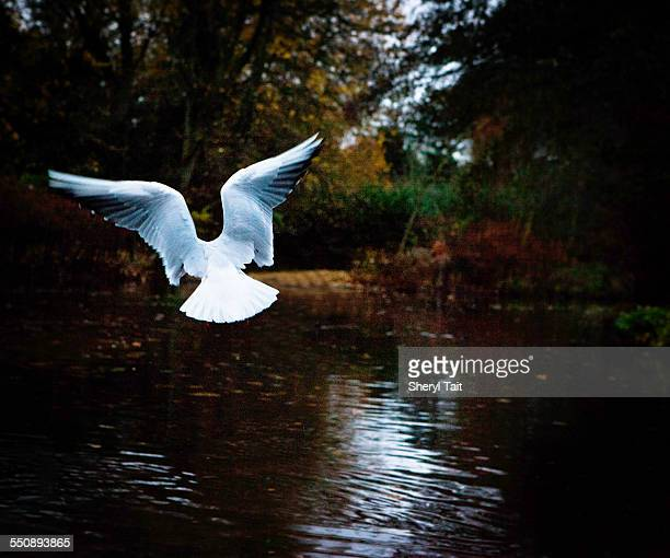 Bird in flight over lake