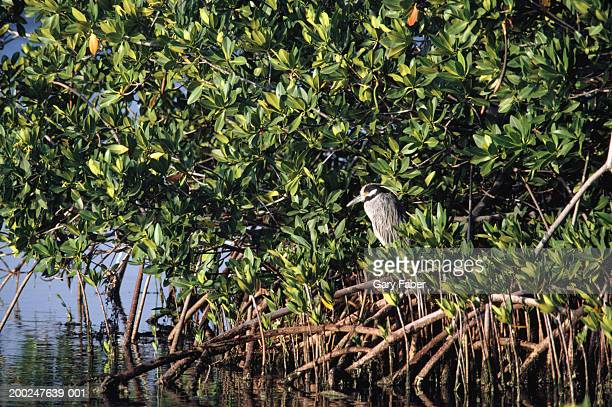 Bird in mangrove tree, Key West, Florida, USA