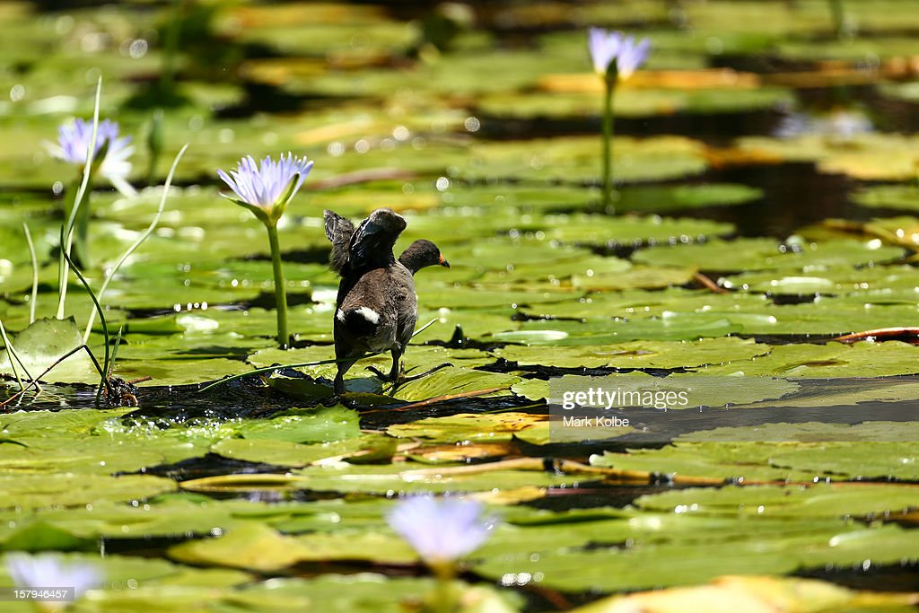 A bird is seen in the lakes at The Lakes Golf Club during round three of the 2012 Australian Open on December 8, 2012 in Sydney, Australia.
