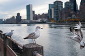 Three birds along the waterfront on Roosevelt Island in New York City, as one bird prepares to land.
