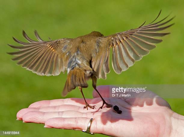 Bird landing on woman's hand