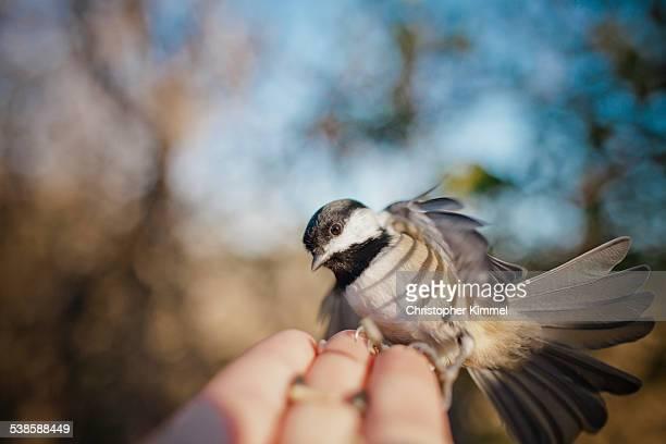 Bird lands on human hand.