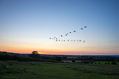 Flock of migrating UK geese flying at sunset in a V formation.