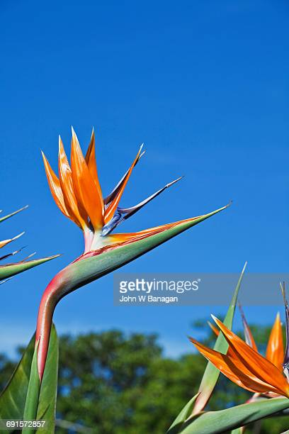 Bird of Paradise .Botanical Gardens. Melbourne