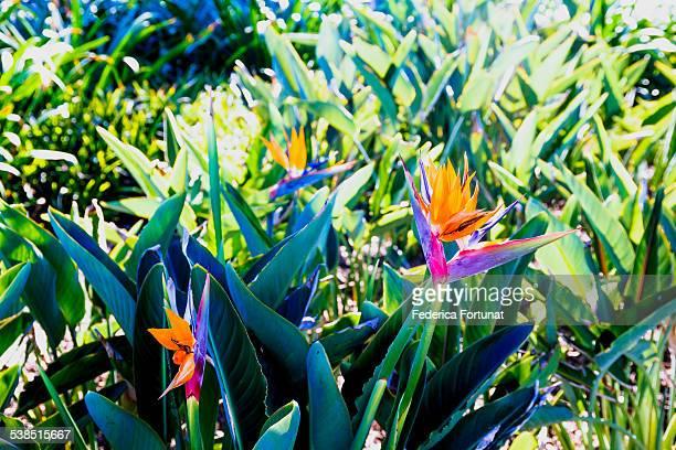 Bird of Paradise (Strelitzia) bush