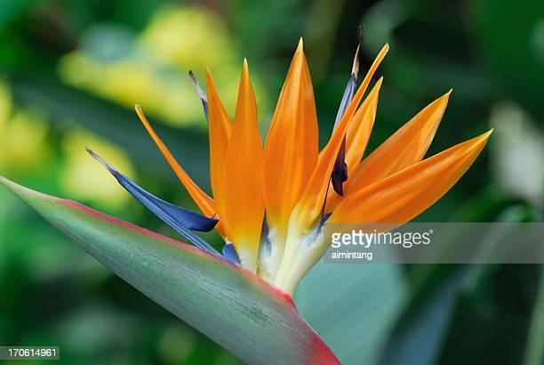 Bird of Paradise Closeup
