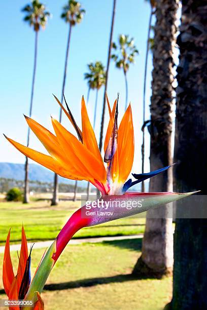 Bird of Paradise flower and palm trees