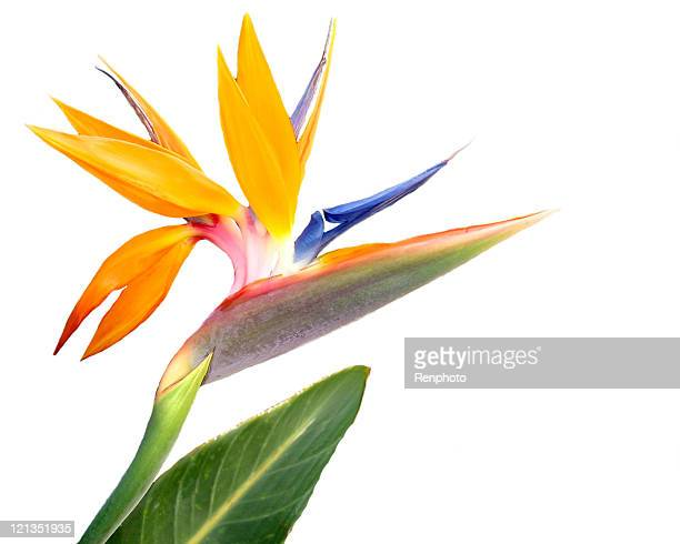 Bird of Paradise Flower, Isolated on White Background