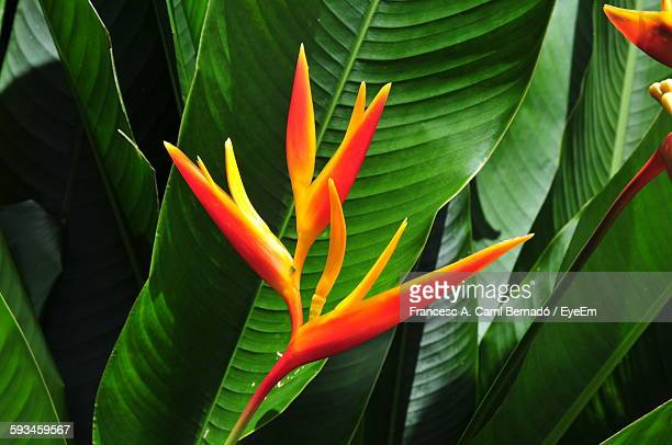 Bird Of Paradise Growing In Forest