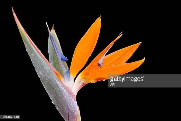 Bird of Paradise (Strelitzia) photographed in Cyprus, Europe