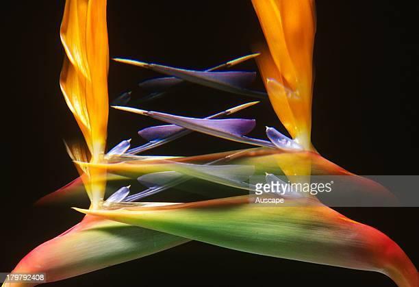 Bird of paradise Strelitzia reginae two inflorescences special effects Origin South Africa