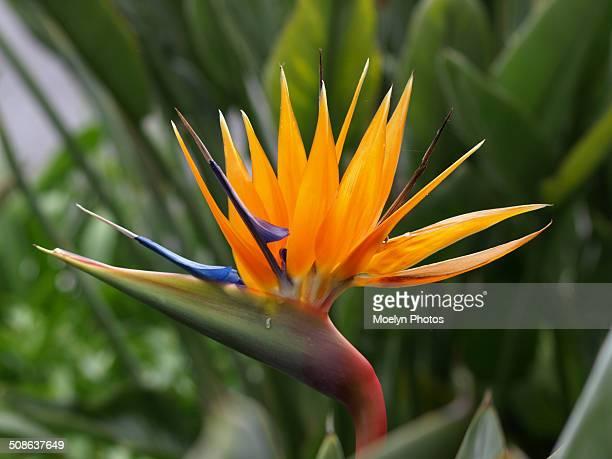 Bird of Paradise-Strelitzia reginae