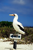 masked boobie on signpost, Galapagos