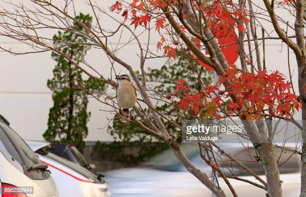 A bird perched on the parking maple tree!